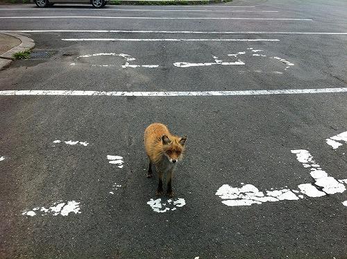 駐車場に現れたキタキツネ